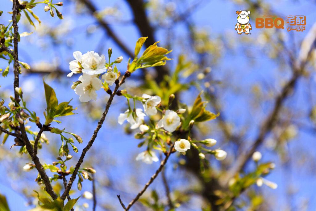 甲子園浜BBQエリアの大島桜
