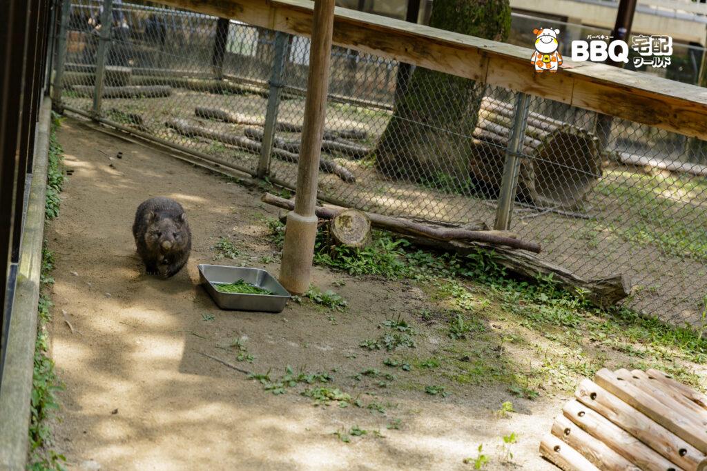 五月山動物園のウォンバット歩行