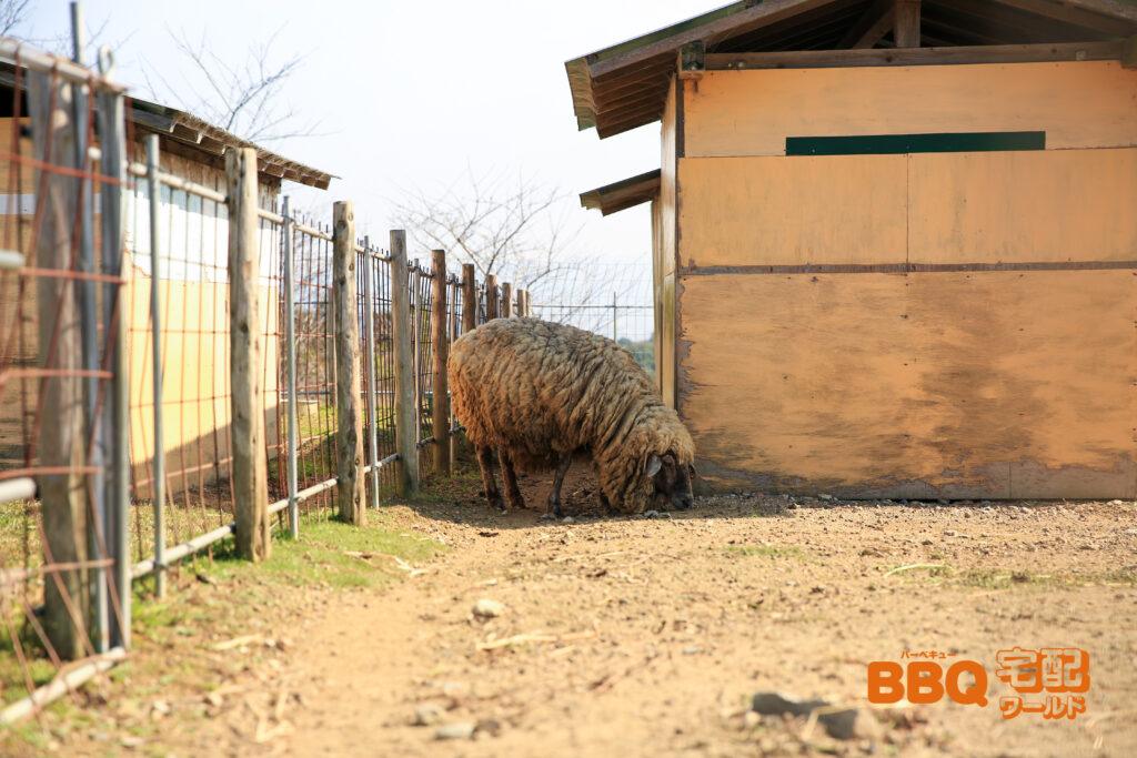 信貴山のどか村の羊