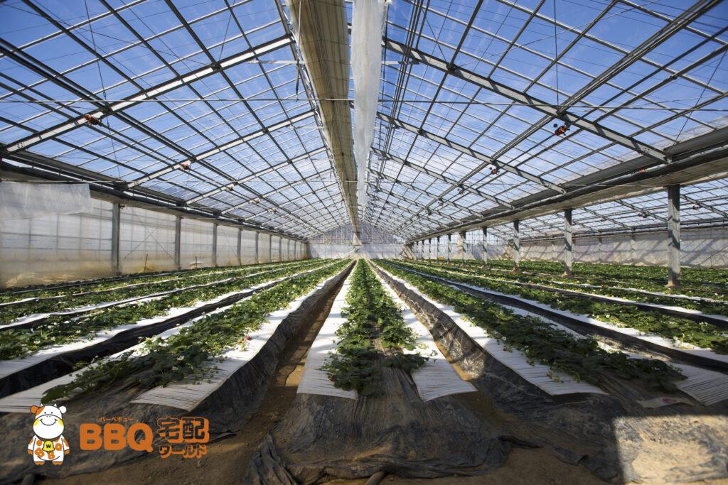 岸和田観光農園のいちごの温室ハウス